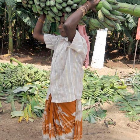 Harvesting bananas: the whole fruit bunch weights about 30kg and has 10 to 20 hands that we typically buy.