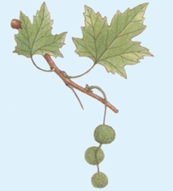 Molecular analyses help resolve the evolution of Platanus