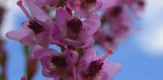Cold-avoidance germination in Calluna vulgaris