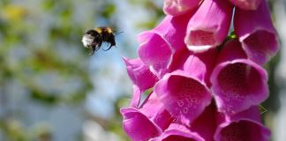 Bombus hortorum and Digitalis purpurea