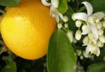 Regulation of juvenile-to-adult transition in citrus