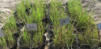 Linking ethylene to nitrogen-dependent leaf longevity