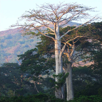 Diversification and hybridization in Malagasy baobabs