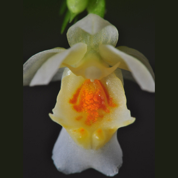 Floral elaiophores in the genus Lockhartia