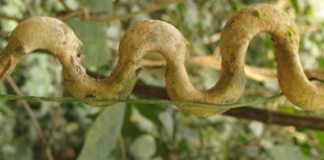Phenotypic traits and growth of lianas (Review)