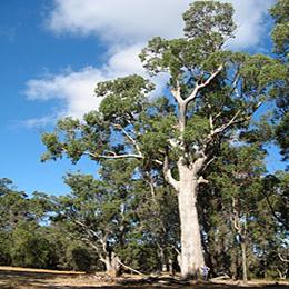 Phylogeography of a coastal tree species