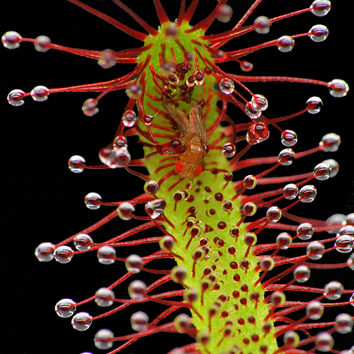 Carnivory and photosynthesis in sundew