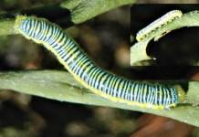 An unwanted caterpillar