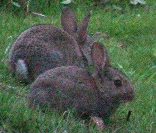 Wild rabbits: how do their genomes differ from domesticated rabbits?