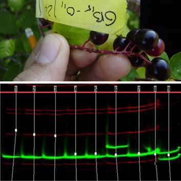 Mating dynamics in Prunus virginiana