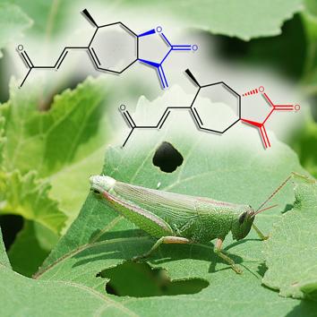 Sesquiterpene lactones and herbivore resistance