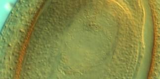 Variations in apomixis in diploid Paspalum rufum
