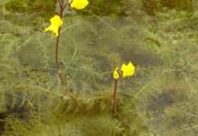Nitrogen fixation in aquatic carnivorous plants