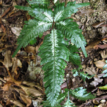 Worldwide phylogeny and biogeography of Pteris
