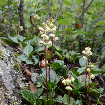 Biogeography of circumboreal taxa of Pyrola