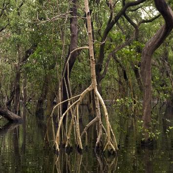 Biomechanics of rhizophores in Rhizophora mangroves