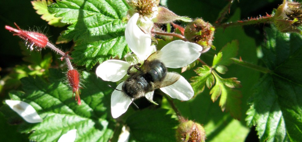 Osmia lignaria on a bramble