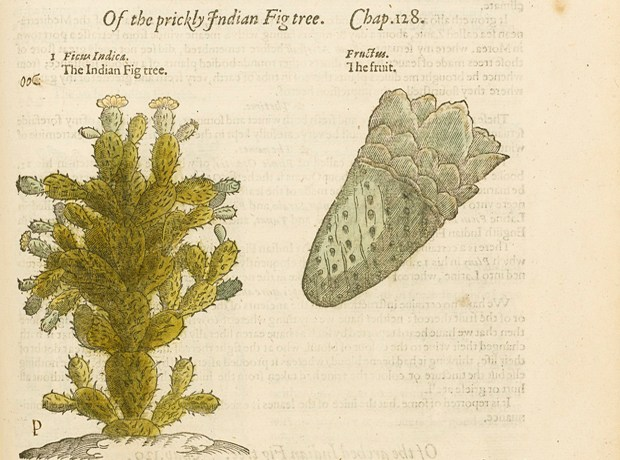 Image: From The Herball, Or Generall Historie of Plantes by John Gerard. Published by John Norton, London, 1597.