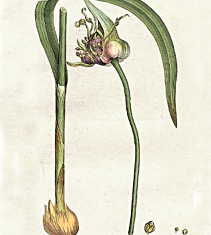 Image: William Woodville, Medical Botany, volume 3. London: James Phillips, 1793.