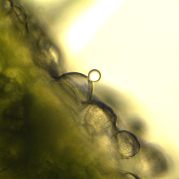 Hydathode trichomes in parasitic Orobanchaceae