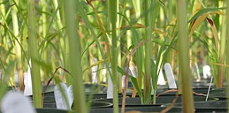 Polyphyletic relationships in Sorghum