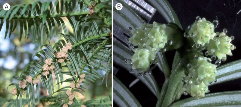 Cephalotaxus koreana. (A) Branch with male cones before pollen shedding. (B) Female cones with pollination drops.