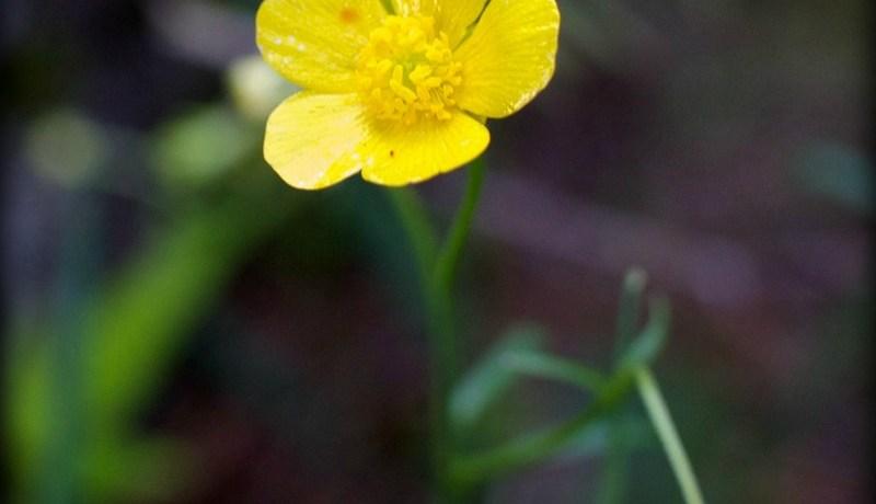 Ranunculus japonicus