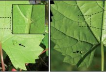 Vitis munsoniana (left) and V. riparia (right) leaves with foliar sugar solution treatments