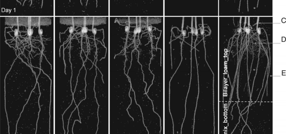 Typical MRI projection images of maize roots growing in mixed sands with different bulk densities and structures.