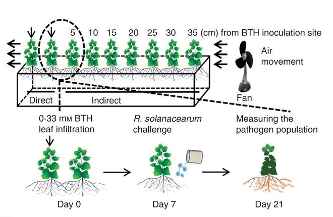 Root-mediated transmission of systemic acquired resistance (SAR) against a soil-borne pathogen R. solanacearum.