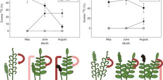 Movement of 13C-labelled gas throughout Osmundastrum cinnamomeum and Osmunda regalis across the growing season.