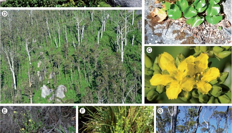 Ornduffia species and habitat in the Porongurup Range, south-western Australia.