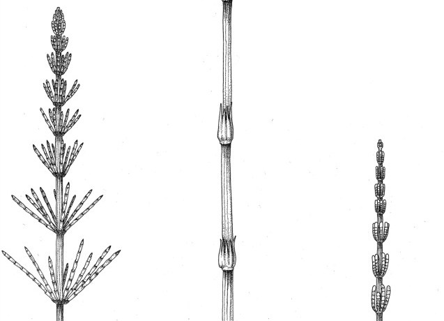 Growth habit of Equisetum emphasizing the below- and above-ground stems with long internodes, nodes bearing whorled appendages, adventitious roots and terminal strobilus consisting of whorls of sporangiophores.