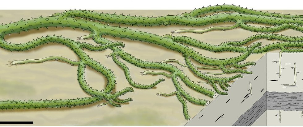 Whole-plant reconstruction of Sengelia radicans.