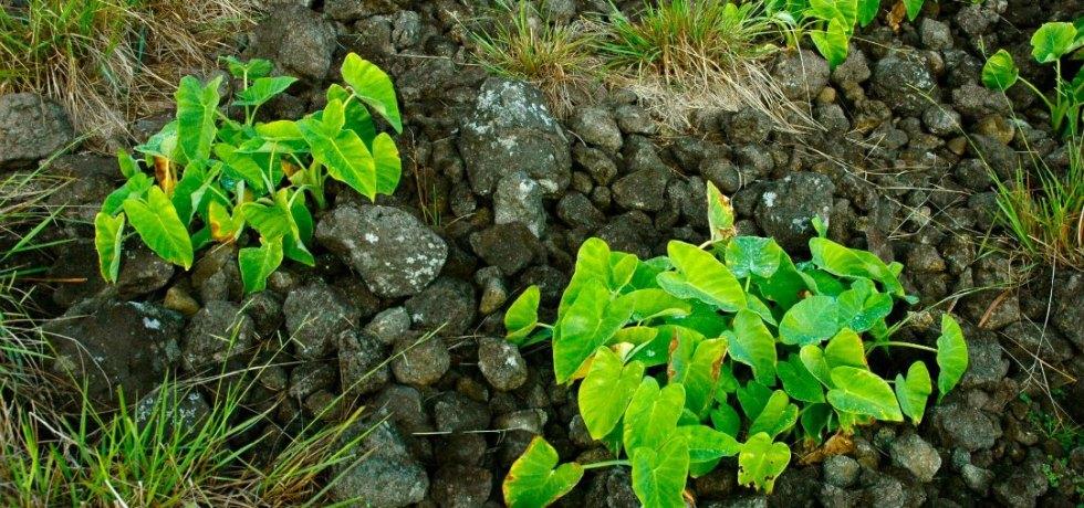 A rock mulch garden on Rapa Nui with taro (Colocasia esculenta) growing.