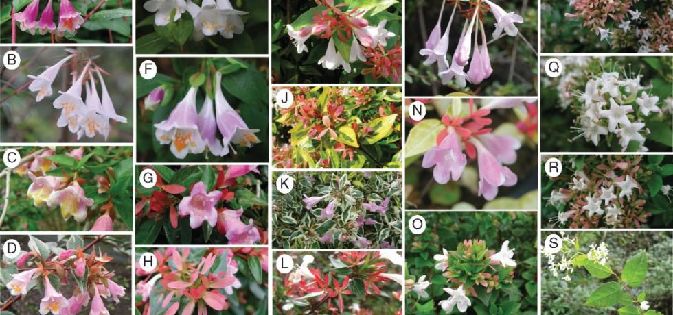 Photographs of Abelia taxa.