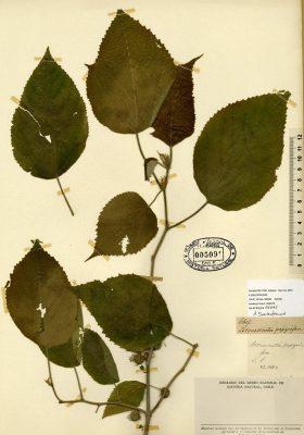 Broussonetia papyrifera, Paper Mulberry