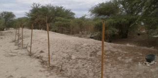 Prosopis tamarugo seed collection area