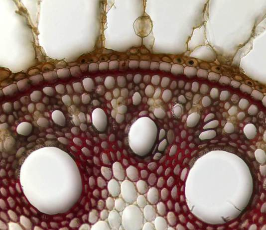 Cross section of a young root of sugarcane.