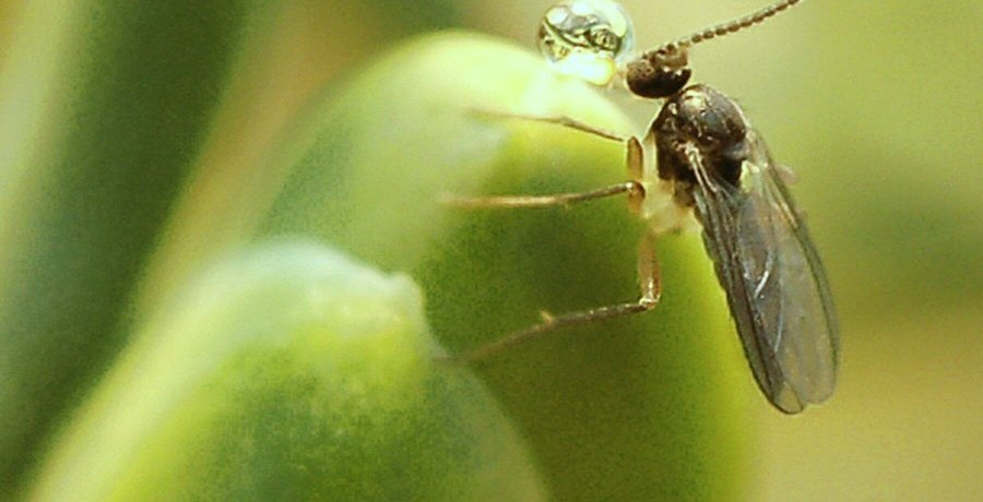 Fly on a pollination drop