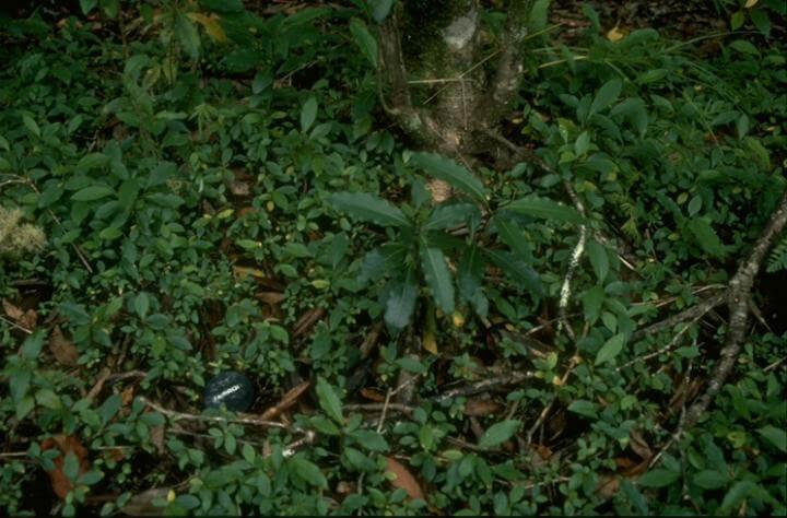 Pittosporum undulatum seedlings