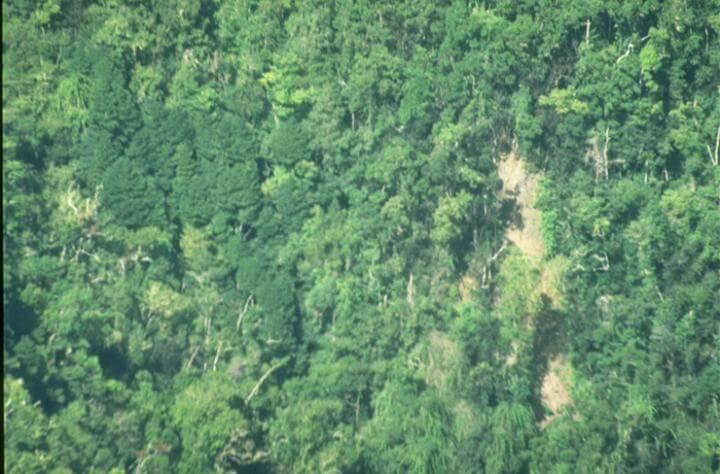 Pittosporum undulatum in forest
