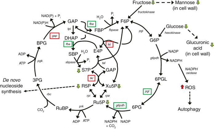 Model of the effect of the rns2-2 mutation on arabidopsis metabolism.