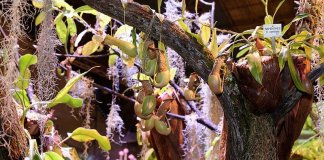 Nepenthes × ventrata