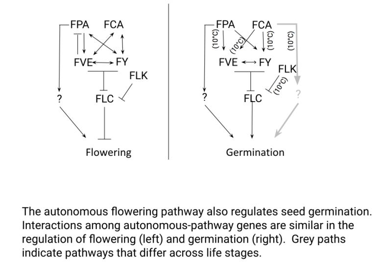 Inferred genetic pathway whereby genes in the autonomous flowering-time pathway influence flowering and germination, via the expression of FLC, which represses flowering and increases germination.