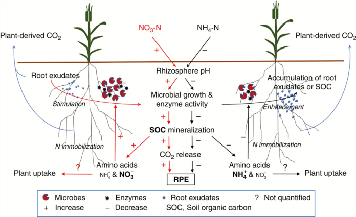 Conceptual diagram of the effects of N form (NO3-N vs. NH4-N)-induced pH changes on the rhizosphere priming effect (the RPE) and involved N immobilization mechanisms.
