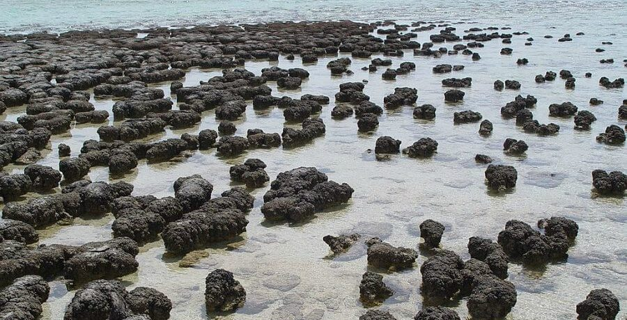 Stromatolites growing in Hamelin Pool Marine Nature Reserve, Shark Bay in Western Australia