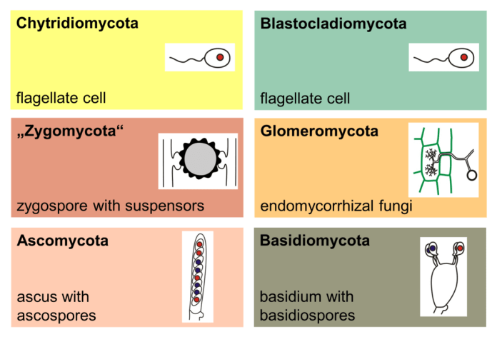 Diagram of fungus types