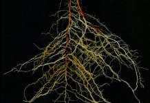 Sorghum root system