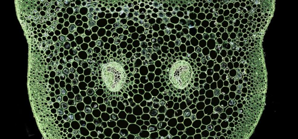 Transverse section through the petiole of Asplenium rutifolium